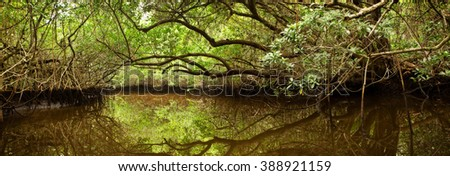 Dense Mangrove Forest and Brackish Creek in Florida Everglades