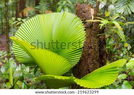 Dense mixed lowland rainforest in Lambir Hills National Park, Borneo, Malaysia. - stock photo