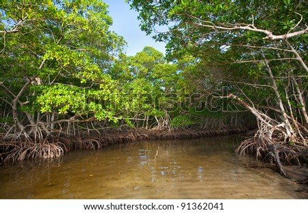 Dense Red Mangroves in South Florida - stock photo
