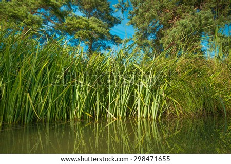 Dense reeds on pond bank with pine trees in summer - stock photo