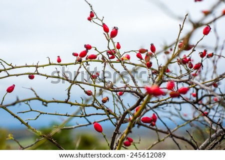 Dense rosehip bush with many tender ripe red berries on blurred blue horizont background - stock photo