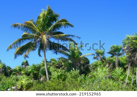 Dense tropical vegetation background with palm trees and lush green foliage in the Caribbeans, Mexico, for travel backgrounds           - stock photo