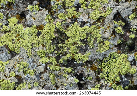 Densely covered with lichen rock, No.4. Natural texture: lichen on stone - stock photo