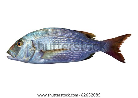 Dentex vulgaris toothed sparus snapper fish isolated on white - stock photo