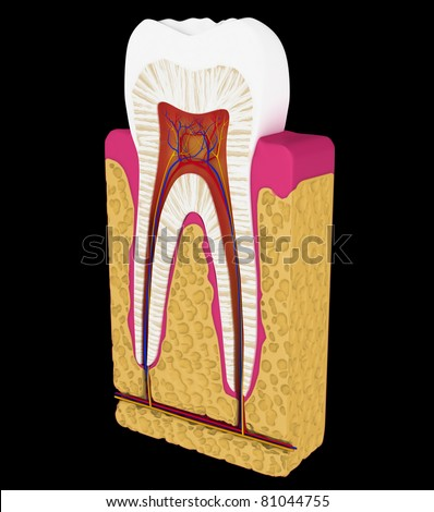 Dentistry: Tooth cut or section isolated over black background