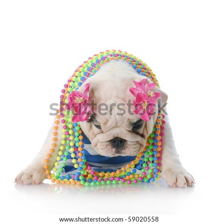 depression - english bulldog female dressed as a girl looking very depressed