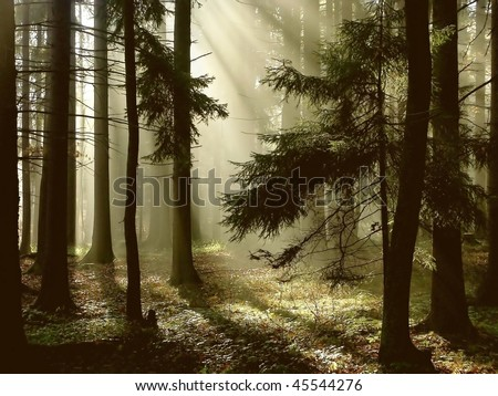 Depth of coniferous forest with magical sunlight passing between the trees.