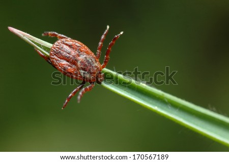 Dermacentor reticulatus on the grass - stock photo