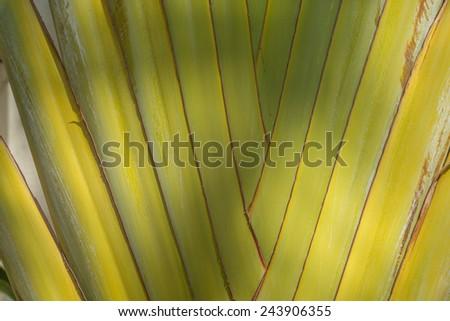 "Description:  Base of a large Traveler Palm Tree in Honolulu, Hawaii. Title:  ""Traveler Palm Tree"". - stock photo"