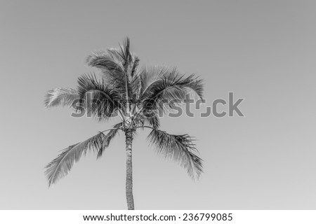 Description:  Black and white photograph of a coconut palm tree after inspection for invasive insects. Title:  Coconut Palm Tree - stock photo