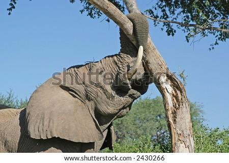Desert adapted African Elephant – Loxodonta Africana, tearing down tree. - stock photo