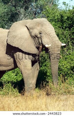 Desert Adapted Elephant in Namibia (African Elephant – Loxodonta Africana) - stock photo
