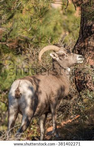 Desert Bighorn Sheep Ewe - stock photo