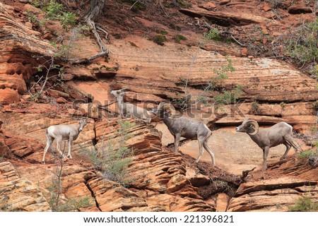 Desert Bighorn Sheep in Zion National Park - stock photo