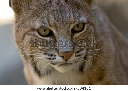 Desert Bobcat, close-up, intense eyes