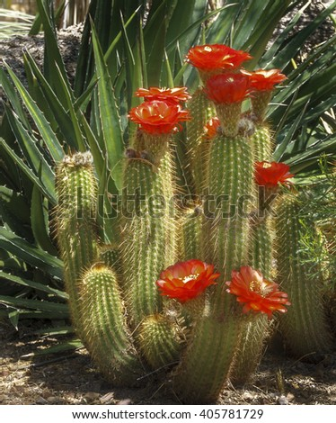 Desert Cactus Blooming in the Spring