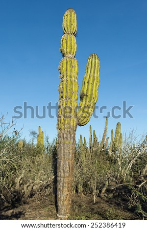 desert cactus in baja california - stock photo