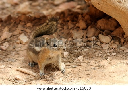 Desert Chipmunk Arizona