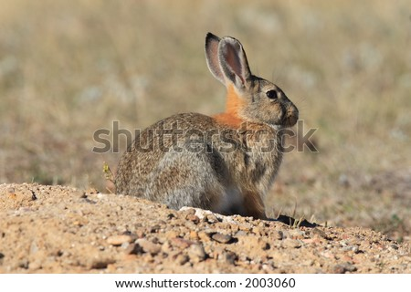 Desert Cottontail - Wind Cave National Park - stock photo