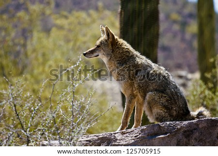 Desert Coyote - stock photo