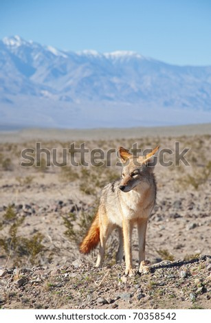 Desert Coyote on the hunt in Death Valley, California. - stock photo