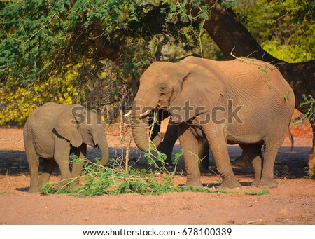 Desert elephants are not a distinct species of elephant but are African bush elephants (Loxodonta africana) that have made their homes in the Namib and Sahara deserts