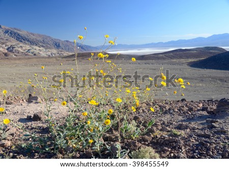 Desert Gold flowers in front of Bad Water in Death Valley