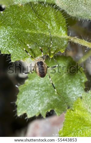 Desert Harvestman Spider (Eurybunus sp.) in Ash Meadows National Wildlife Refuge, Nevada - stock photo