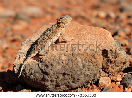 Desert Horned Lizard camouflaged on rock in desert, Valley of Fire National Park, Nevada, United States