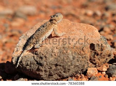 Desert Horned Lizard camouflaged on rock in desert, Valley of Fire National Park, Nevada, United States - stock photo