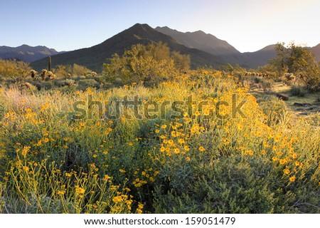 Desert in bloom - stock photo