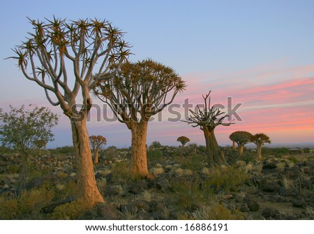 Desert landscape at sunset with a quiver tree (Aloe dichotoma), Namibia