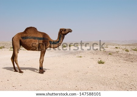 Desert landscape. Sand, camel and blue sky with clouds. Travel adventure background. - stock photo
