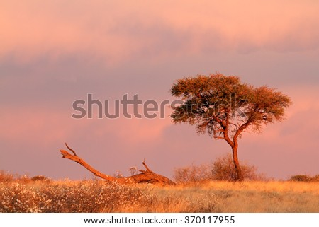 Desert landscape with an Acacia tree and  cloudy sky at sunset, Kalahari desert, South Africa - stock photo