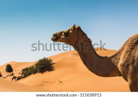 Desert landscape with camel. Sand, camel and blue sky with clouds. Travel adventure background. - stock photo