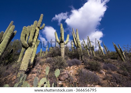 Desert landscape with giant saguaro cactus and blue sky. - stock photo