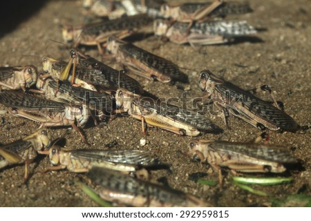 Desert locust (Schistocerca gregaria). Wildlife animals.  - stock photo