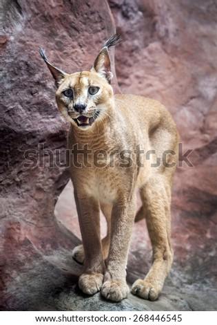 desert lynx - stock photo