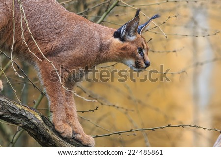 desert lynx on the tree - stock photo