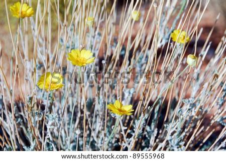 Desert Marigold - stock photo