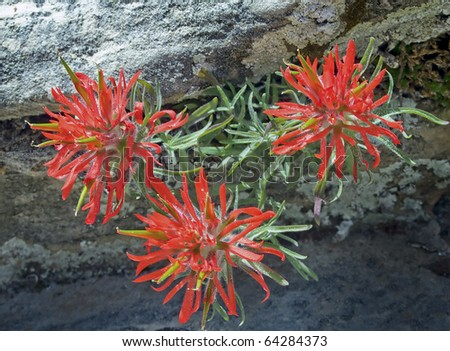Desert or Early Indian Paintbrush blooms in Zion National Park - stock photo