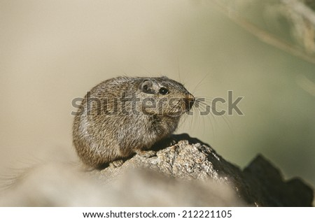 Desert Rat on rock, close up