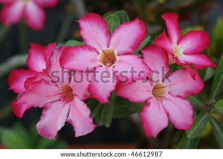 Desert Rose - stock photo