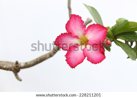 desert rose are beautiful flower and save water in growth  - stock photo