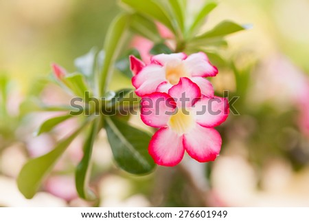 Desert rose flowers in garden.