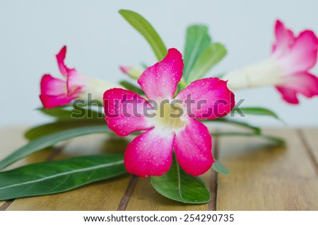 Desert Rose on wood table