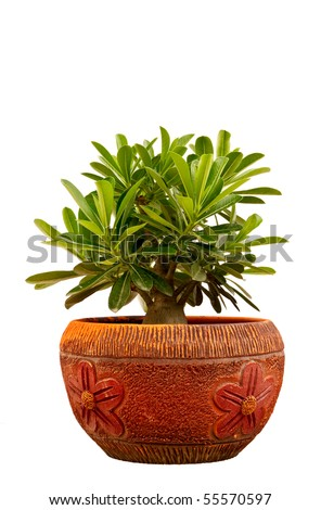 Desert rose or Ping Bignonia in handmade flowerpot - stock photo