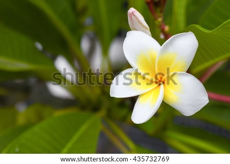 Desert Rose Tropical flower on a tree, or Impala Lily flower. beautiful White adenium in the garden. : select focus Desert Rose Tropical flower with shallow depth of field and soft-focus background : - stock photo