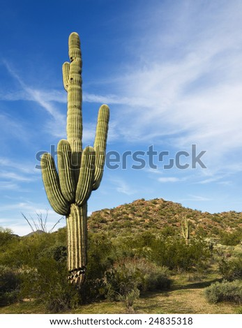 Desert saguaro with fluffy cloud sunset - stock photo