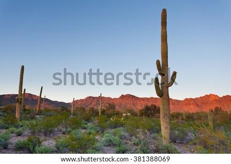 Desert sunset landscape of Saguaro National Park near Tucson, Arizona, US, with green Sonoran Desert vegetation and iconic Saguaro cacti, Carnegiea gigantea - stock photo
